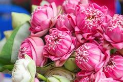 Verse lotusbloembloemen Royalty-vrije Stock Afbeeldingen