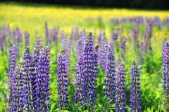 Verse lupine die in de lente bloeien royalty-vrije stock afbeeldingen