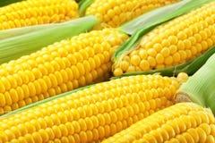 Verse maïskolven, Stock Foto's