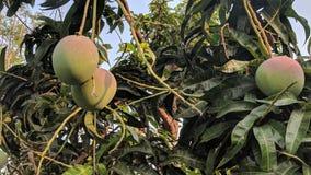 Verse mango Stock Afbeeldingen