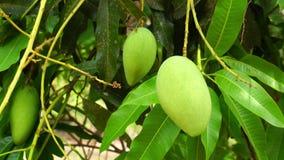 Verse mango's die op een boom hangen en in de wind in de zomer slingeren stock videobeelden