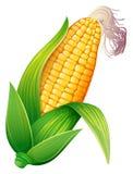 Verse maïskolven Royalty-vrije Stock Afbeeldingen