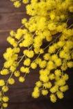 Verse mimosabloem royalty-vrije stock foto