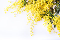 Verse mimosabloem op wit stock afbeeldingen
