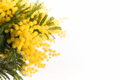 Verse mimosabloem op wit royalty-vrije stock foto's