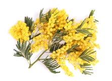 Verse mimosatak op wit royalty-vrije stock afbeelding