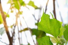 Verse Moerbeiboomvruchten op boom stock fotografie