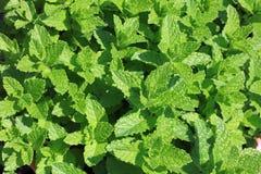 Verse Munt in Herb Garden Stock Foto