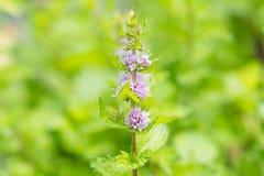 Verse muntbloemen in tuin Stock Foto