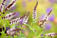 Verse muntbloemen in tuin Stock Fotografie