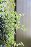 Verse natuurlijke krullende bloem met groene bladeren Stock Afbeeldingen