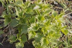 Verse netelbladeren De heropleving van aard in de lente stock fotografie