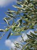 Verse olijfboomtak Royalty-vrije Stock Afbeeldingen