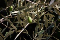 Verse olijven Stock Afbeelding
