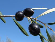 Verse olijven Stock Afbeeldingen