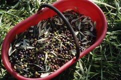 Verse olijven Royalty-vrije Stock Fotografie