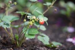 Verse onrijpe groene en rode aardbeien die op een installatie groeien Stock Foto's