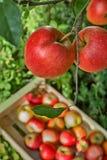 Verse oogst van rode appelen, de seizoengebonden werken in boomgaard, fruit GA stock afbeeldingen