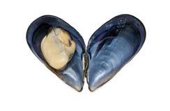 Verse open zwarte mossel in shell Royalty-vrije Stock Foto's