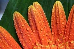 Verse oranje daysy Royalty-vrije Stock Foto's