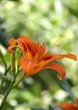 Verse oranje lelie in aard. Ondiepe DOF Stock Afbeelding