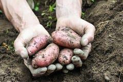 Verse Organische Aardappels Stock Afbeeldingen