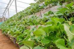Verse Organische Aardbeien Stock Afbeeldingen