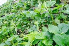 Verse Organische Aardbeien Stock Fotografie