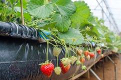 Verse Organische Aardbeien Royalty-vrije Stock Fotografie