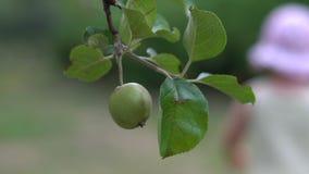 Verse organische appelen die op tak van appelboom hangen in een tuin stock videobeelden