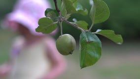 Verse organische appelen die op tak van appelboom hangen in een tuin stock video