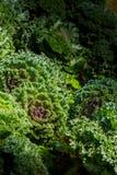 Verse organische boerenkool Stock Foto's