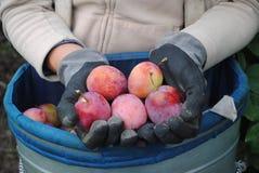 Verse organische pruimen in de handen van de vrouw Stock Foto