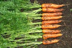 Verse organische wortel Royalty-vrije Stock Afbeeldingen