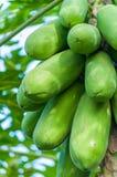 Verse papajaboom Stock Fotografie