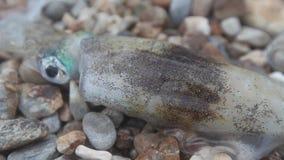 Verse pijlinktvis op de kust na visserij met zeewater stock footage