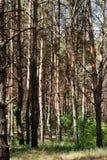 Verse pijnboom bos mooie zonnige partijen van groen Stock Afbeelding
