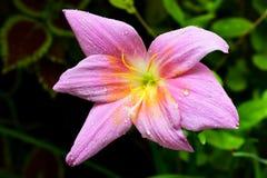 Verse purpere bloem Stock Afbeelding