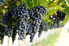 De wijnstok Royalty-vrije Stock Foto