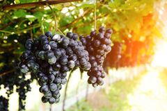 De wijnstok Royalty-vrije Stock Fotografie