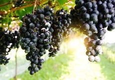 De wijnstok Royalty-vrije Stock Afbeelding