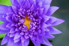 Verse purpere lotusbloem Royalty-vrije Stock Afbeeldingen