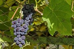 Verse rijpe bos van druivenfruit bij wijnstok Royalty-vrije Stock Afbeelding
