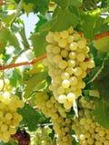 Verse rijpe druivenfruitteelt in aard stock afbeeldingen