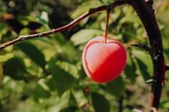 Verse Rijpe Plum Fruits op tak stock foto