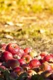 Verse rode appelen Stock Foto