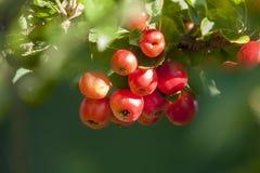 Verse rode appelen Royalty-vrije Stock Afbeeldingen