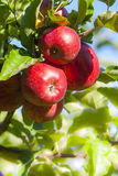 Verse rode appelen Stock Fotografie