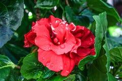 Verse rode Hibiscusbloemen in tuin Stock Afbeeldingen