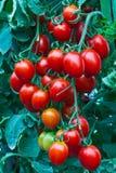 Verse rode tomaten. Stock Foto's